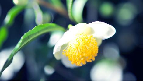 yamatocha_flower.jpg